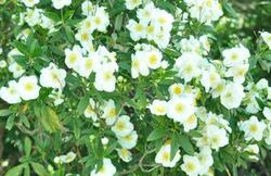 the aldrich company landscape design this shrub can grow 4 6 ft tall and wide with flowers throughout spring and summer the blossoms have white petals mightylinksfo